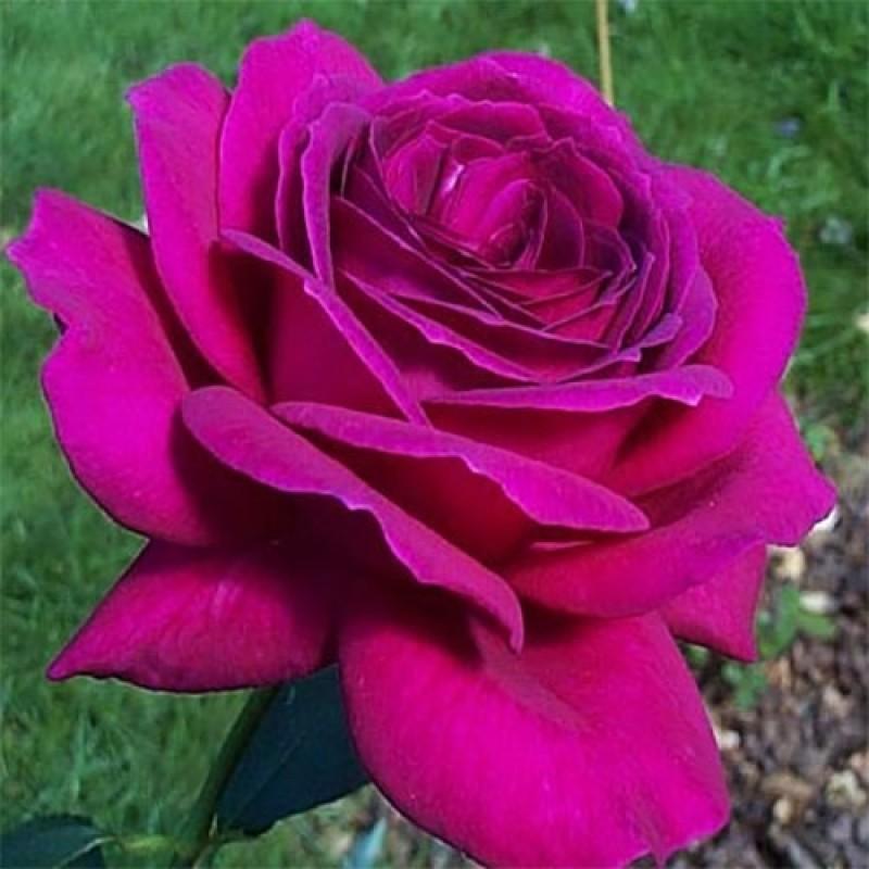 Купить саженцы роз почтой недорого