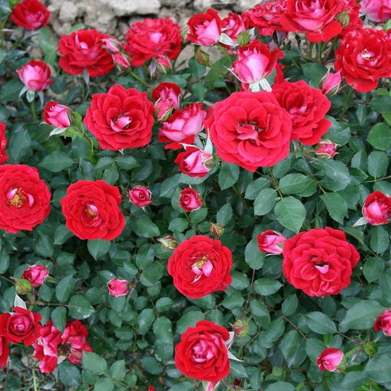 Продажа саженцев роз с доставкой по почте