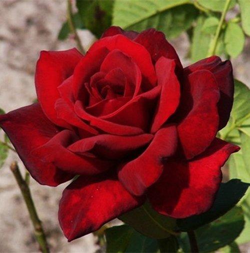 Чайно гібридні троянди замовляйте поштою