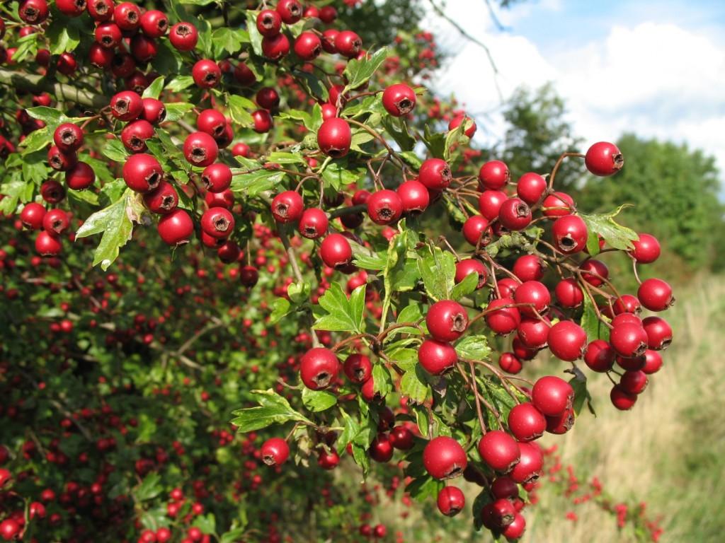 Плодовые кустарники для садакупитьоптом Киев