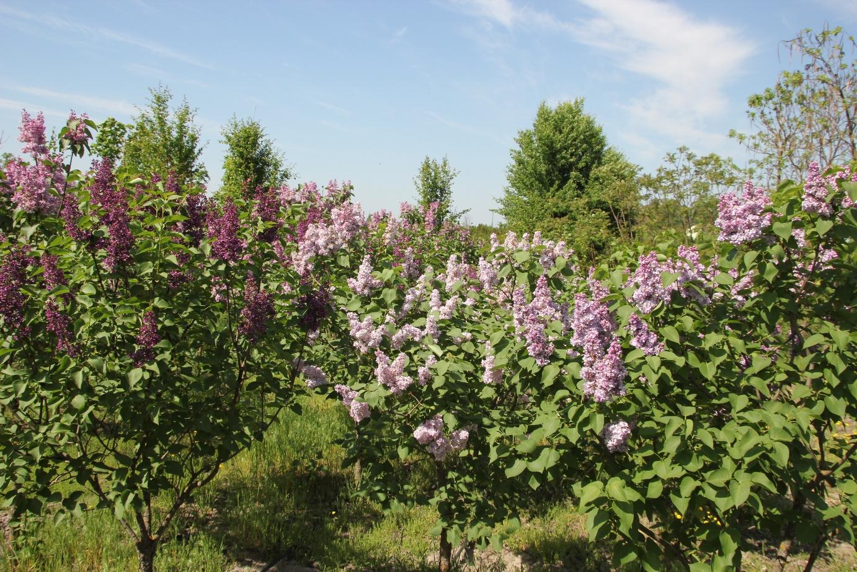 Купить декоративные деревья и кусты недорого
