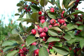 Райская яблоня, декоративные деревья оптом Киев дешево