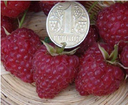 Купить саженцы малины Брусвяна можно у нас!