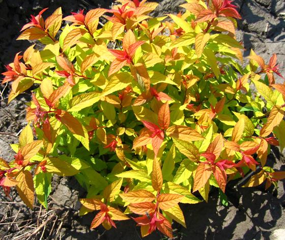 Декоративно лиственные кустарникиоптом недорого