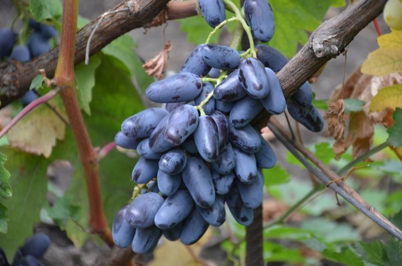 Черенки винограда продажа: выбирайте лучшие сорта у нас!