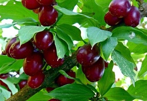 Продажа саженцев плодовых деревьев: кизил купить недорого Украина