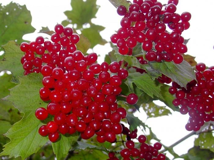 Декоративные плодовые деревьязаказать из питомника оптом