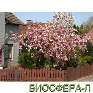 Купить декоративные цветущие деревья в интернет-магазине оптом