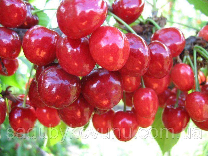 Саджанці черешні, вишні, абрикоса, персика, груші купити недорого
