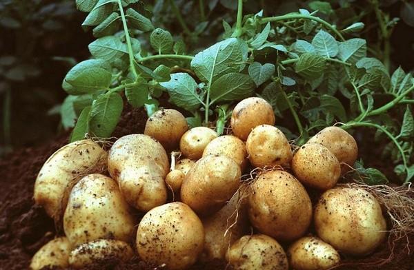 Пропонуємо купитимікродобрива для картоплі