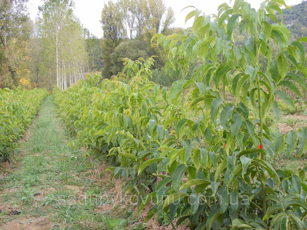 Саджанці грецький горіх, яблуня, абрикос — ціни найнижчі на ринку!