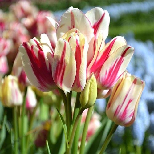 Цибулини тюльпанів оптом дешево купити в Україні