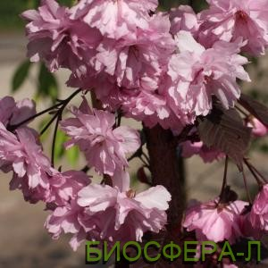 Слива пурпурная цена выгодная Киев