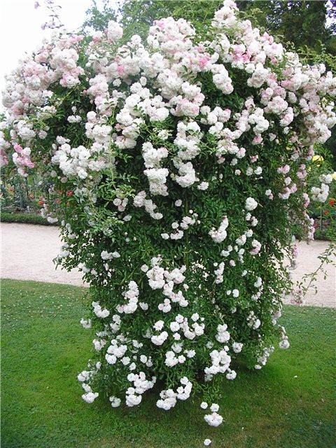 Купить саженцы роз почтой от производителя оптом