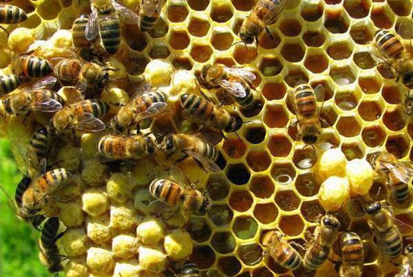 Лікування бджолами апітерапія Україна
