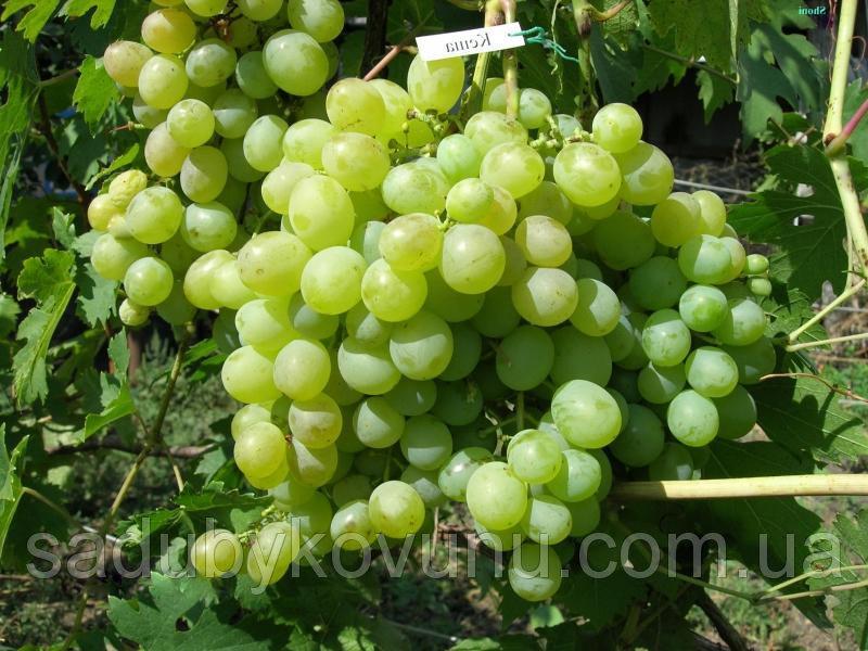 Виноград кеша, кишмиш, талисман в продаже оптом недорого