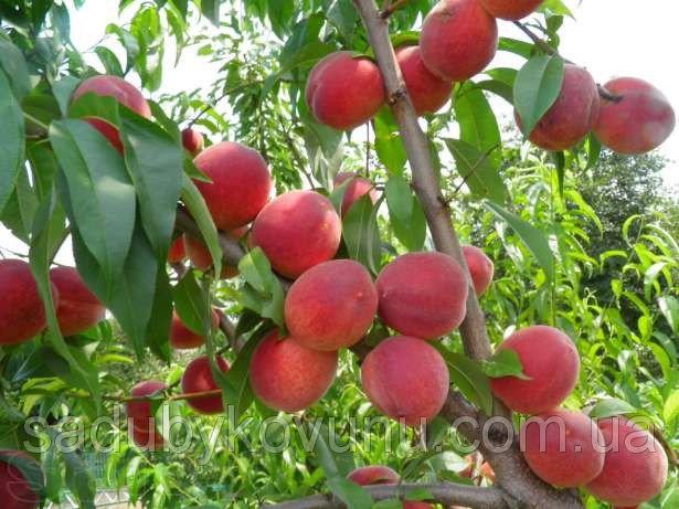 Саженцы абрикоса почтой купить недорого - вкусные плоды!