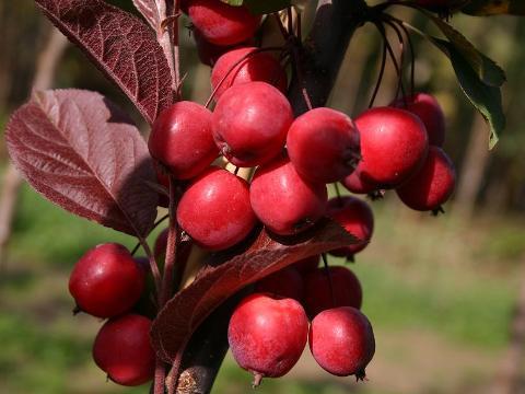Купити саджанці райської яблуні за доступною ціною