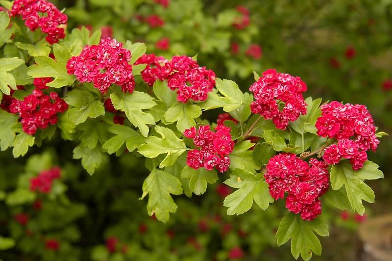 Недорогие садовые кустарники ягодные Киев