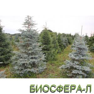 Декоративные хвойные деревья и кустарники купить недорого