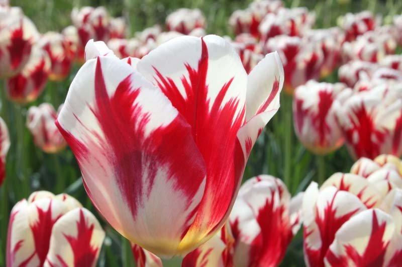 Купить луковицы тюльпанов для выгонки недорого - Цветы Буковины