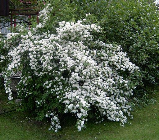 Декоративные деревья и кустарники для дачи недорого