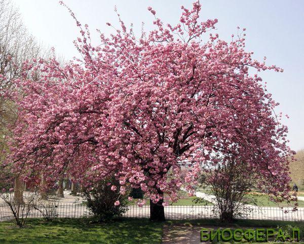Японские декоративные деревья в нашем ассортименте!