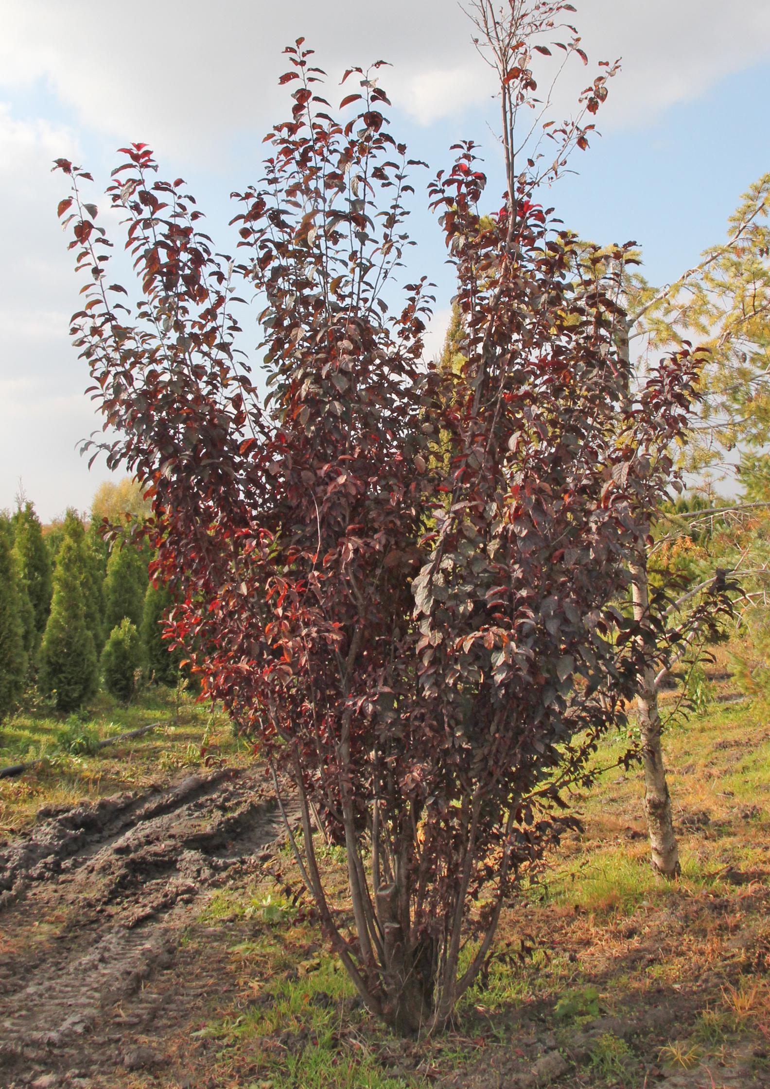 Низькорослі плодові дерева в асортименті!
