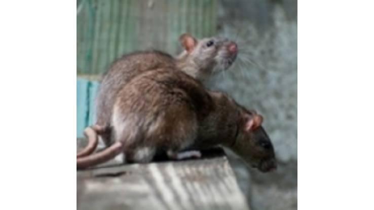 Купить крысоловку в Киеве можно у нас!