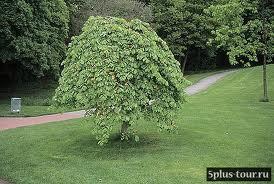 Декоративные лиственные деревья: предлагаем вяз плакучий