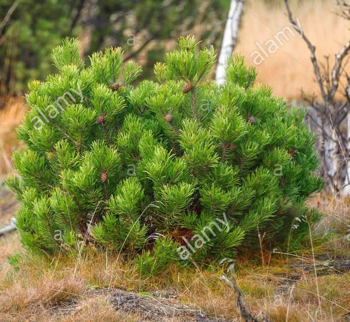 В наличии карликовая горная сосна Rotundata