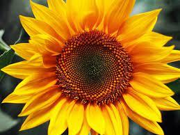 Приобретите семена подсолнечника Самуэль недорого на нашем портале!