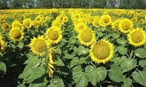 Покупайте семена подсолнечника ясон недорого на нашем портале!
