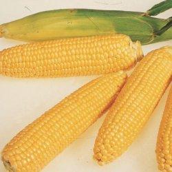 Якщо Ви любите кукурудзу, вибирайте сорт Леженд F1