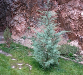 Саженцы вечнозеленых: купить кипарис