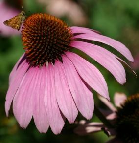 Ехінацея пурпурна (розсада): купити декоративні рослини і квіти