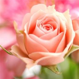 Саженцы роз: купить, Украина, Киев