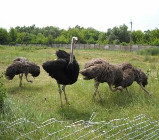 Страусиная ферма предлагает купить молодняк страусов