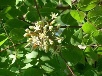 Мыльное дерево (бундук канадский): купить саженцы