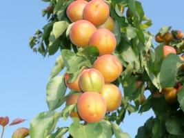 Саженцы абрикоса, персика: купить, Киев