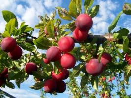 Саженцы плодовых культур: продажа, Киев