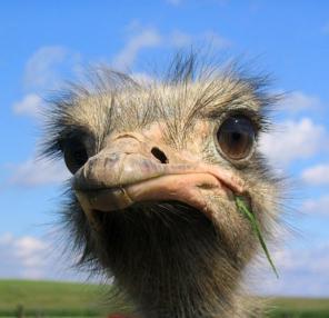 Продаж страусів в Україні