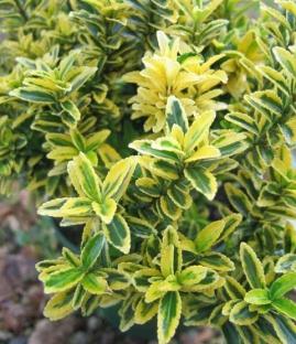 Саджанці вічнозелених листяних порід: оптом, в роздріб