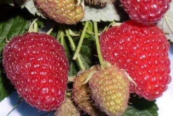Сорта яблонь на урале: трафареты снегирь, ягоды брусники клипарт в.