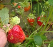Високоврожайні саджанці полуниці