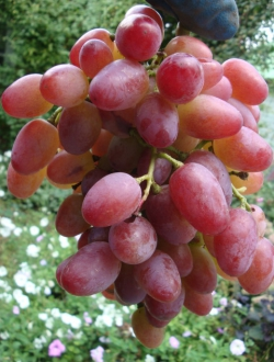 Пропонуємо купити саженцы винограда «Водограй»