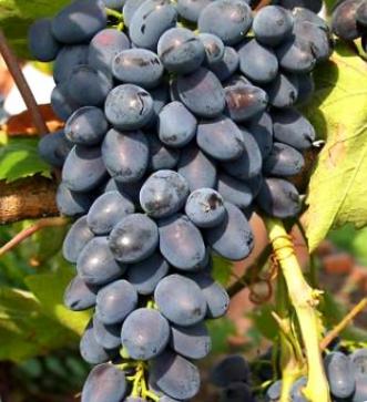 Выращиваем саженцы винограда «Надежда АЗОС»