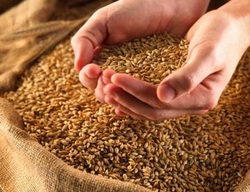 Озимая пшеница - гарантии качества от производителя!