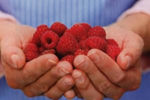 Продаємо саджанці малини «Ізобільная»