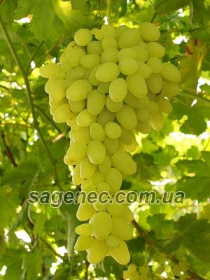 Вирощуємо і реалізуємо столові сорти винограду